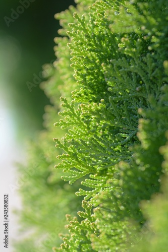 Japanese cypress (Hinoki leaf) Fototapet