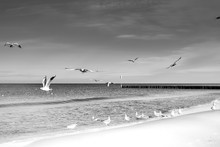 Laridae - Seagull Family Birds