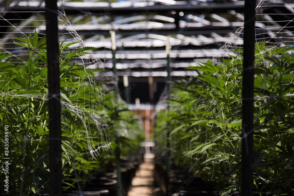 Fototapety, obrazy: California cannabis cultivation at its finest. A close up of the marijuana farm industry. Beautiful macro and micro shots. Green house, outdoor, indoor plants and harvesting