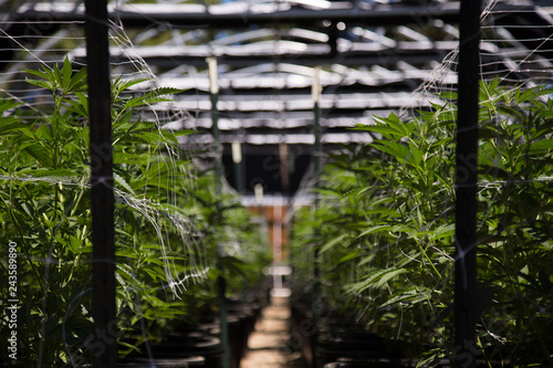 Canvas Print California cannabis cultivation at its finest