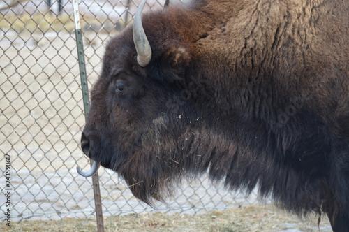 Fotografie, Obraz  Bison in the outdoors