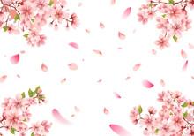 Cherry Blossom Sakura Frame On White Background