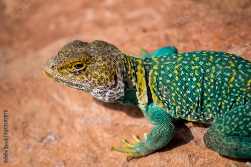 Photo  the colorful male collard lizard sunning himself on a rock in the summer heat