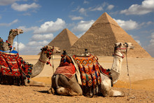 Pyramids Of Giza,cairo,egypt With Camels In Foreground