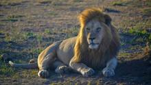 A Majestic Male Lion, Back Lit...