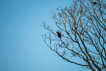 A Bald Eagle Resting On The Branch Of A Tall Tree Under Blue Sky On Winter Morning