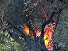 An Olive Tree Burning During ...