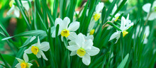 Spring Flowers, Daffodils In T...