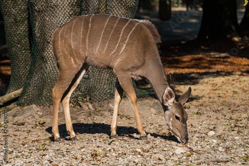 Photo Großer Kudu - Tragelaphus strepsiceros