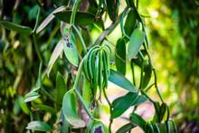 True Vanilla Plant - Vanilla Planifolia In Seychelles