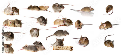 Fotografie, Obraz  big mice collection - mice isolated on white