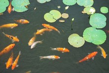 Beautiful Koi Fish Swimming Among Lily Pads In Outdoor Goldfish Pond
