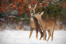 Mother And Son Roe Deer, Capre...