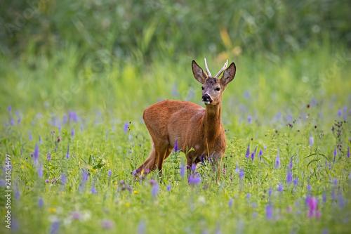 Foto op Plexiglas Ree Roe deer, capreolus capreolus, buck in summer on a meadow full of flowers. Roebuck at sunset. Wild animal in natural environment. Cute wild male deer.