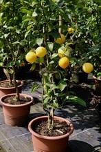 Lemon Tree On Pot