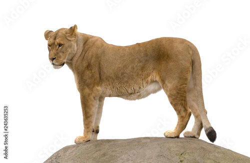 Fotografie, Obraz  Lioness standing on a rock