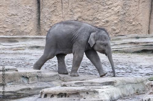 Garden Poster Elephant Baby elephant walking