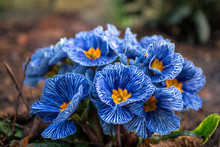 Blue Zebra Primroses, Primula Flowers Blooming In The Garden At The Beginning Of Spring.
