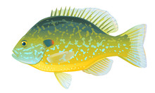 One Pumpkinseed Sunfish In Side View With Big Fins And Speckles, High Quality Illustration Of North America Fish, Realistic Freshwater Fish Illustration On White Background