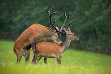 Copulating Red Deer, Cervus El...