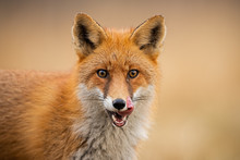 Close-up Of Head Of A Red Fox,...