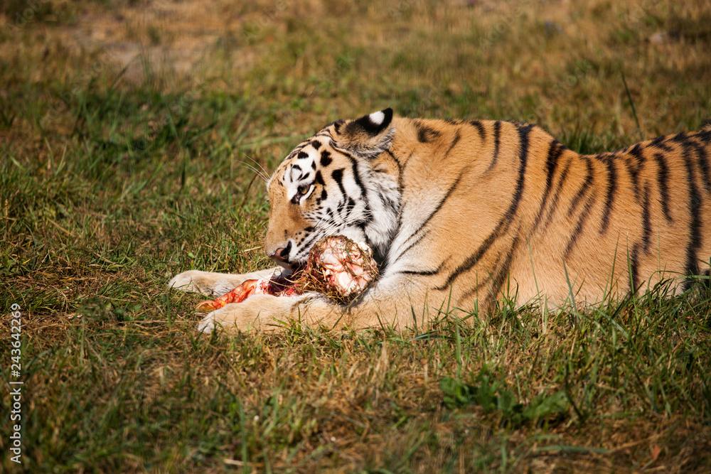 The Amur Siberian tiger eats raw meat
