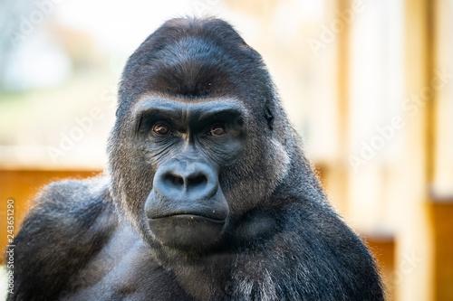 Papiers peints Singe Gorille des plaines