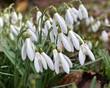 Schneeglöckchen (Galanthus) - Gruppe von eng zusammen stehenden Blüten