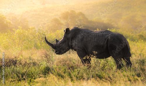 Männliches Nashorn in Südafrika Canvas Print