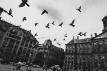 Pigeons Flying On Square Betwe...