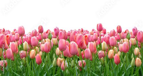Obraz na plátně Pink tulips field isolated on white background