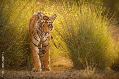 In de dag Tijger Amazing tiger in the nature habitat. Tiger pose during the golden light time. Wildlife scene with danger animal. Hot summer in India. Dry area with beautiful indian tiger. Panthera tigris.