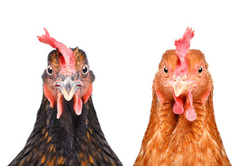 Two chickens isolated on white background looking at the camera