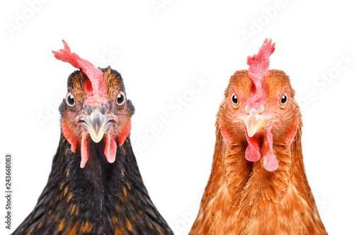 Tuinposter Kip Two chickens isolated on white background looking at the camera