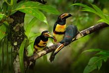 Small Toucans In Habitat. Touc...