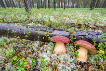 Two Large White Mushrooms With Big Hat And Leg Are Lying Near Fallen Tree In The Forest.