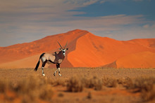 Gemsbok With Orange Sand Dune Evening Sunset. Gemsbuck, Oryx Gazella, Large Antelope In Nature Habitat, Sossusvlei, Namibia. Wild Animals In The Savannah. Animal With Big Straight Antler Horn.
