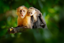 Monkey With Young. Black Monkey Hidden In The Tree Branch In The Dark Tropical Forest. White-headed Capuchin, Feeding Fruits. Animal In Nature Habitat, Wildlife Of Costa Rica. Cub And Mother.