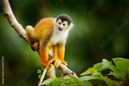 Squirrel monkey, Saimiri oerstedii, sitting on the tree trunky with green leaves, Corcovado NP, Costa Rica. Monkey in the tropic forest vegetation. Wildlife scene from nature. Beautiful cute animal.