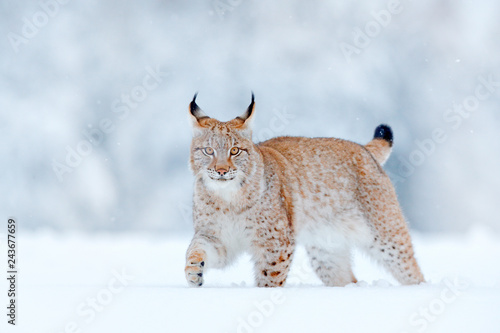 Eurasian Lynx, wild cat in the forest with snow Wallpaper Mural