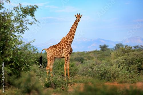 Giraffe Hidden In Green Vegetation Wildlife Scene From Nature