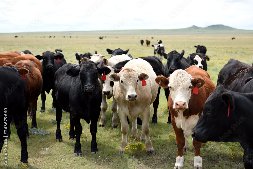 Fototapeta Herd of livestock, grazing, on a cattle ranch in New Mexico, United States