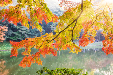 Fototapeta Drzewa Branch with orange and yellow autumn leaves with a lake in the background (Japanese garden in sunset, Tokyo, Japan)