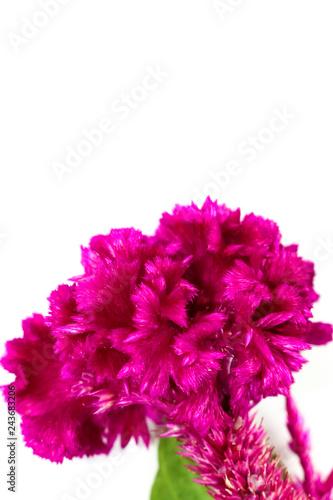 Fototapeta Cockscomb Close up