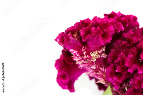 Fotografie, Obraz Cockscomb Close up