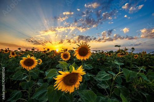 Wall mural - Summer landscape: beauty sunset over sunflowers field