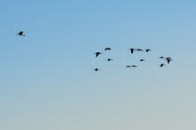Birds Flying Over Blue And Clear Sky. Perfect Natural Background.