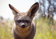 Close Up Of Bat Eared Fox Gazi...