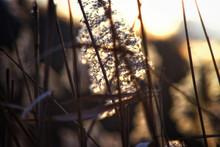 Canal Reeds Backlit 3