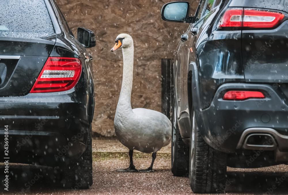 Schwan zwischen zwei Autos